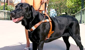 A guide dog in a harness leash held by its owner